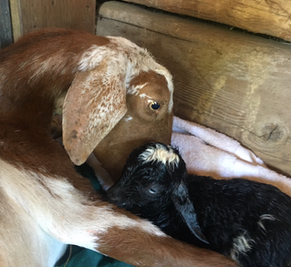 BABY GOATS @ ALMAS COUNTRY STORE / DECATUR ISLAND