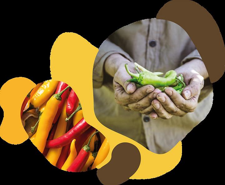 organic pepper disruptive jalapeño habanero chipotle traceability