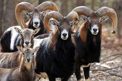 mouflon Rams and lambs
