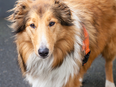 Should Your Pet Get The Leptospirosis Vaccine?