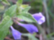 Scullcap plant