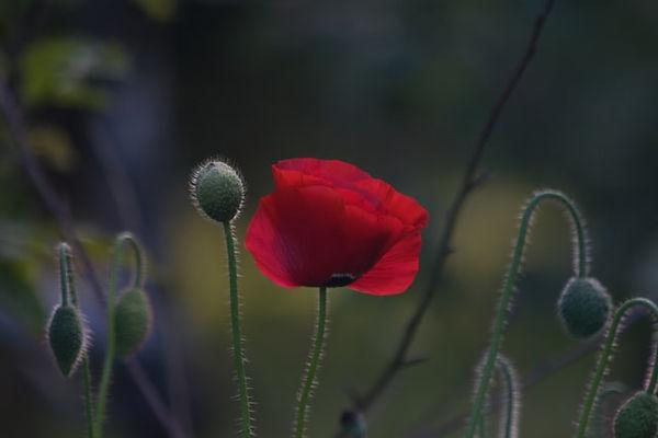 small red poppy.jpg
