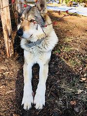 Czechoslovakian wolfdog Chily