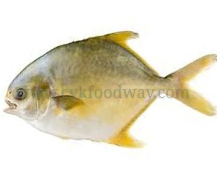 Fish Pomfret Golden 银昌鱼 - Clean ( 450 g ± )