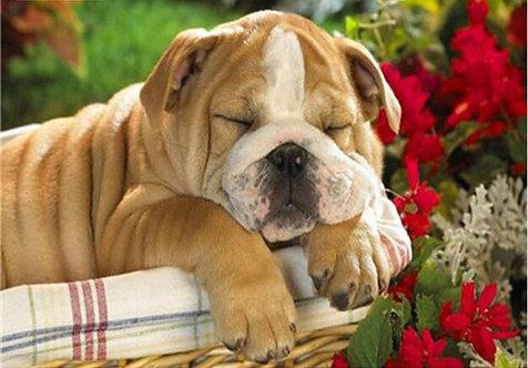 Sleeping Dog De Bordeaux 20x25 cm