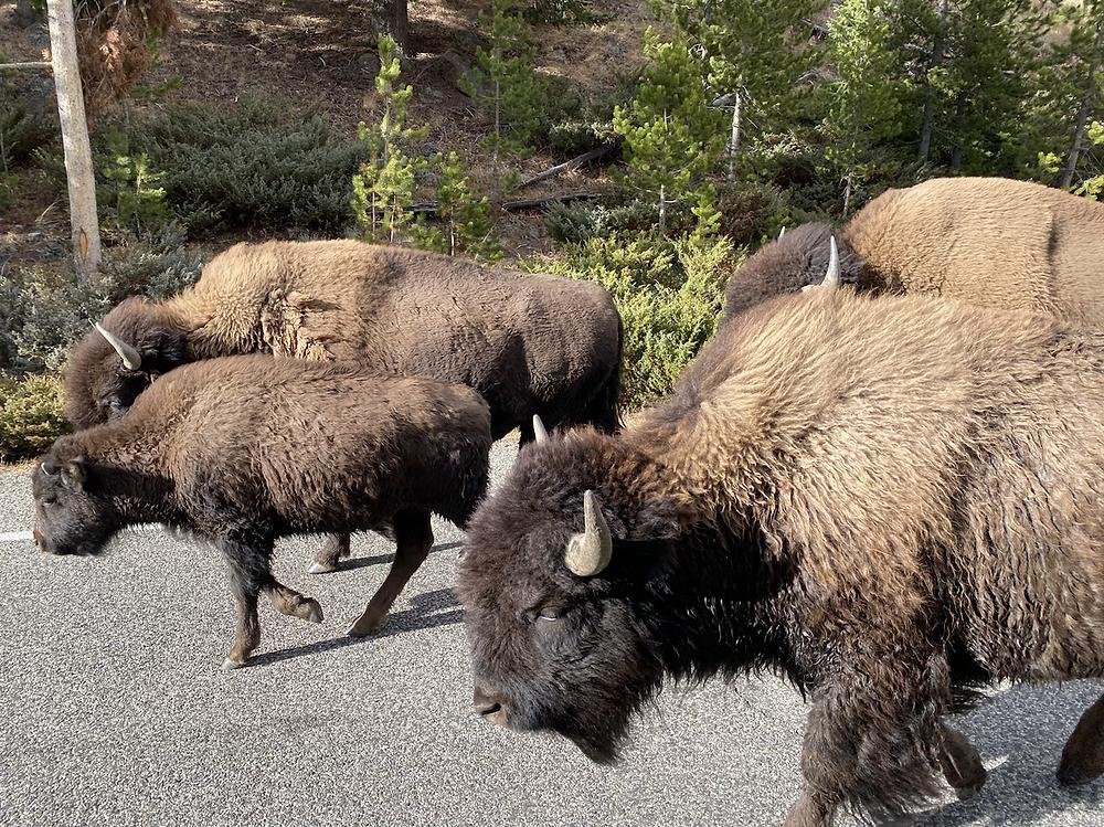 Buffalo, bison, animals, yellowstone, wyoming, mom, toddlers, road trip
