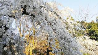 Konoe no Itozakura (Cerisier Droopy-Branch) au Jardin National Kyoto Gyoen