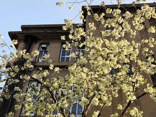 """Fleurs de cerisier """"ukon no sakura"""" de Moto risseishōgakkō (Ecole Primaire)"""