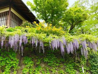 Les fleurs de Fuji fleurissaient en marchant à Sagano