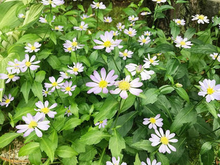 Les Fleurs de Miyakowasure (Gymnaster savatieri)