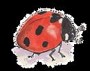 ladybird©honeysuckleharebell2020