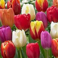 tulips-assorted_opt.jpg