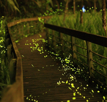 2019 日月潭星光螢火蟲季Sun Moon Lake Fireflies Festival