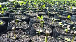 Seedlines
