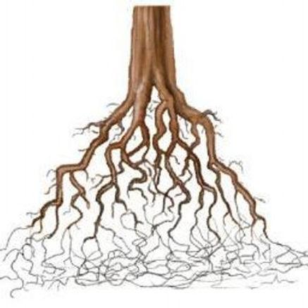 Un arbre... des racines !