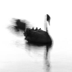 Swan Lights 25