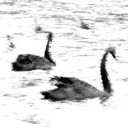 Swan Lights 21