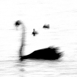 Swan Lights 19