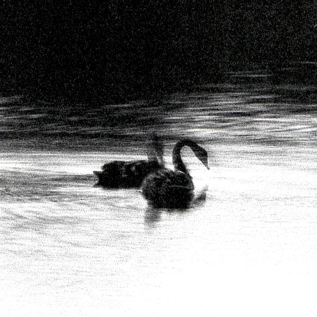 Swan Lights18