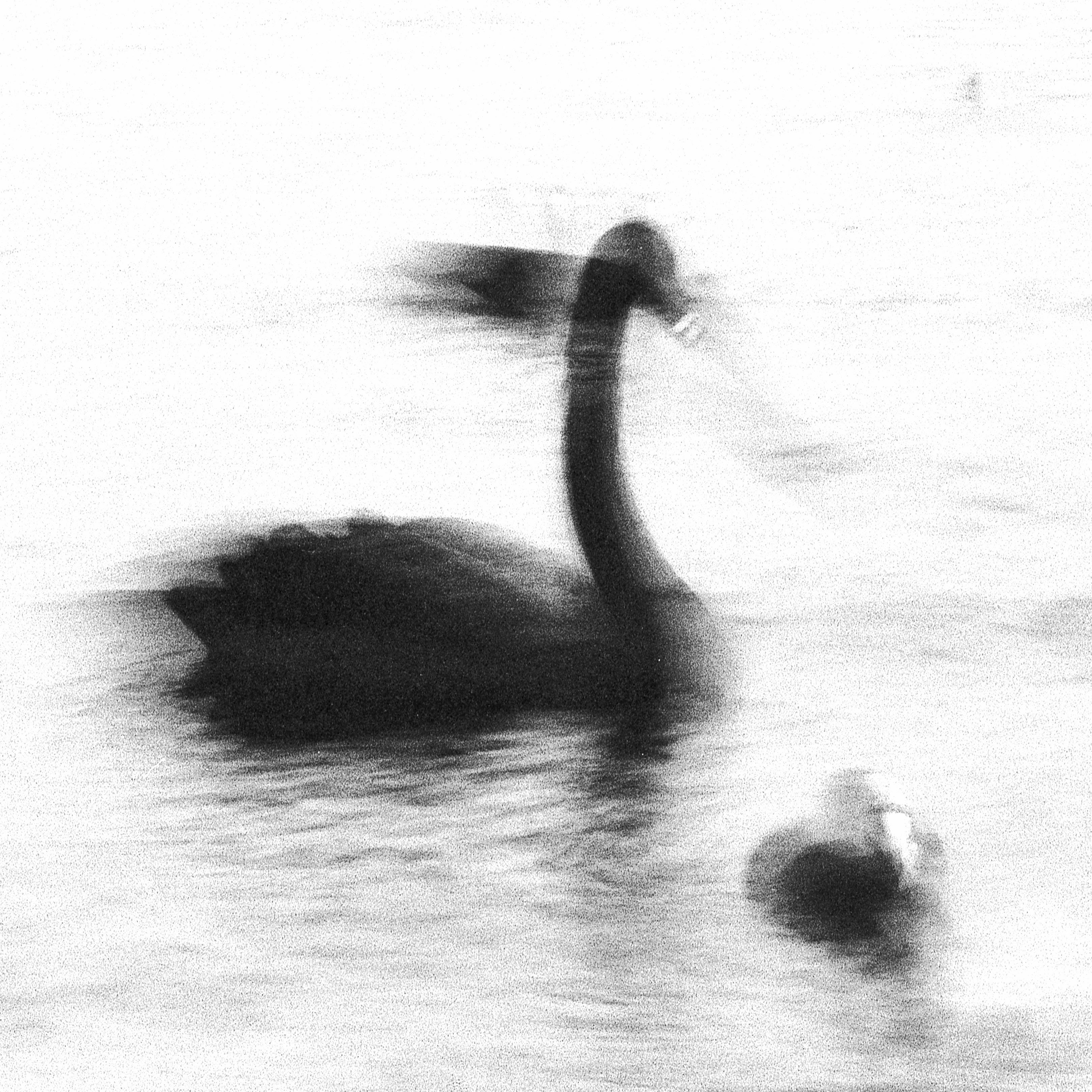 Swan Lights13