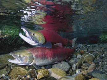 Salmone  transgenico autorizzato negli USA