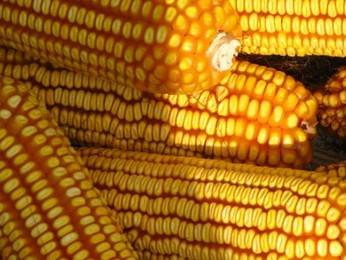 Mais OGM, lo studio italiano: nessuna evidenza di rischi per la salute