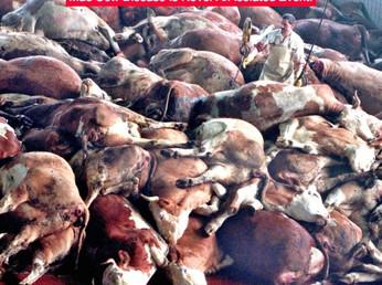 Mucca Pazza: come fu sconfitta in Gran Bretagna