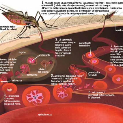 ciclo-della-malaria.570