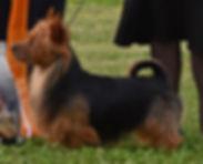 0 BIS Aust Terrier-(ZF-10619-37191-1-001