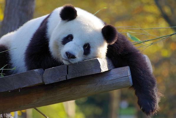 panda-3857754.jpg