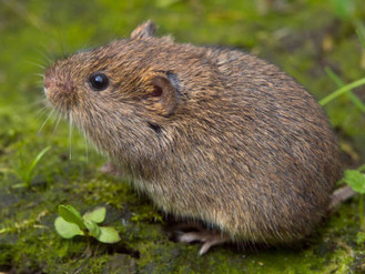 Voles: The Grass Eating Rodents, You Didn't Know Existed!