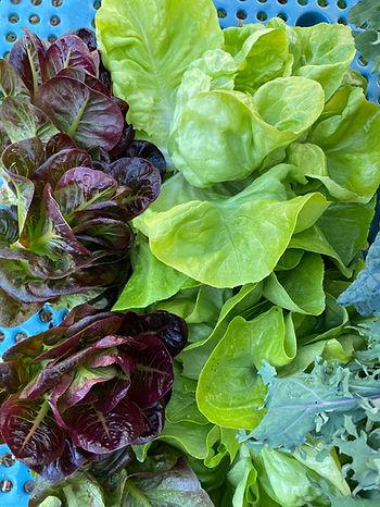 Hydro lettuce .jpg
