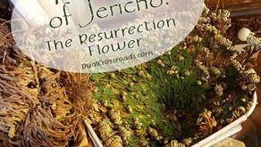 Magickal Spotlight #4 - The Rose of Jericho