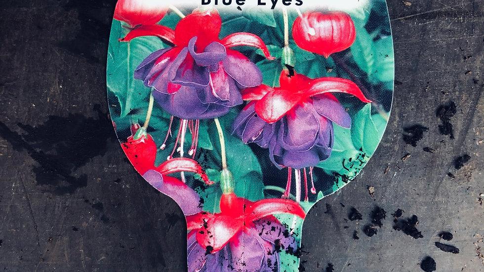 Trailing Fuchsia - Blue Eyes