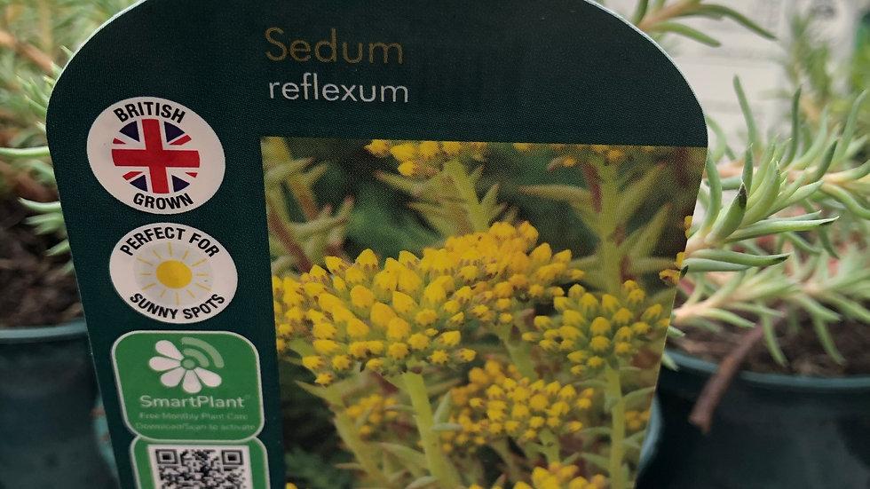 Sedum Reflexum