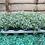 Thumbnail: Cerastium - Snow in Summer