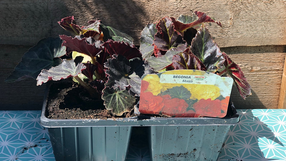 Nonstop Begonias - Mocca Mixed - 4 Pack