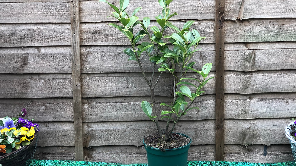 """Cherry Laurel Bush - approx 28"""" PLEASE MESSAGE TO ORDER"""