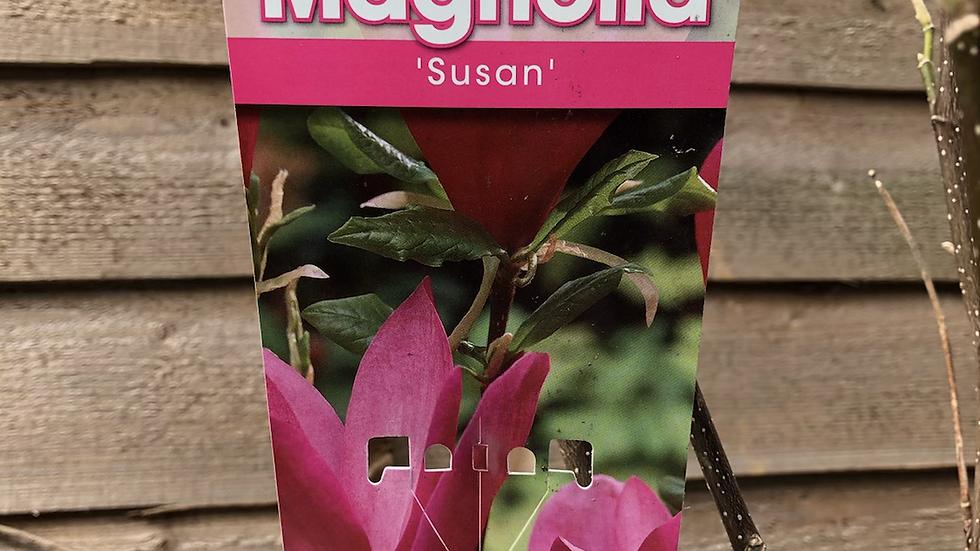 "Magnolia Tree ""Susan"""