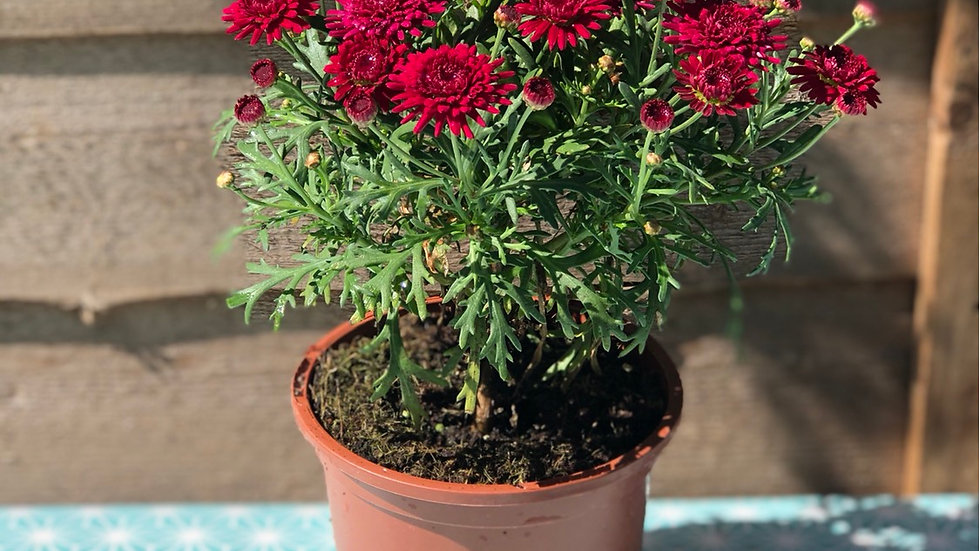 Argyranthemum (Marguerite) - Double Red
