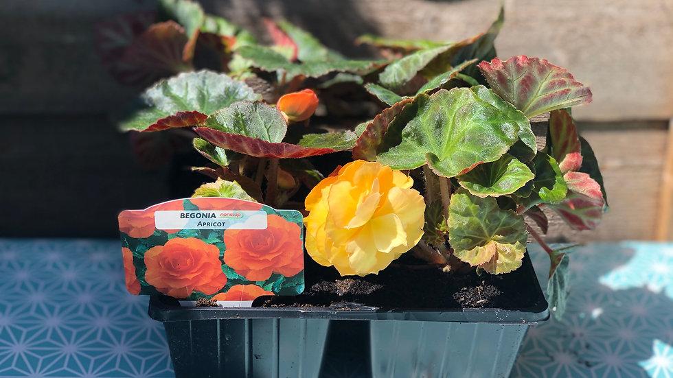 Nonstop Begonias - Apricot - 4 Pack