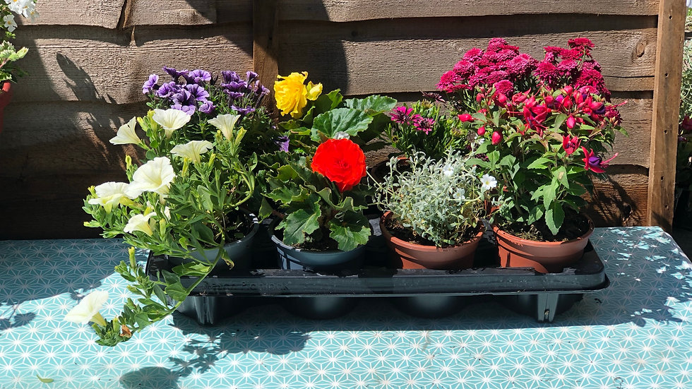 8 x 1L Summer Plant Selection - Special Offer