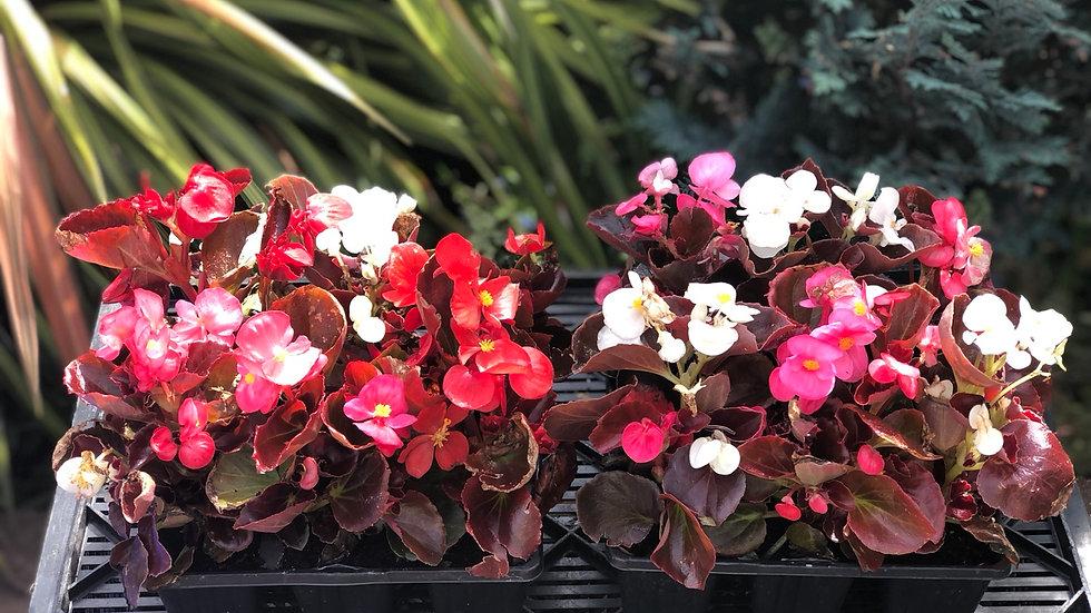 Begonias - Bedding Semperflorens (6 Pack)