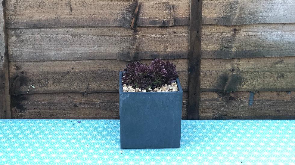 Sempervivum (Succulents) in Slate Cube