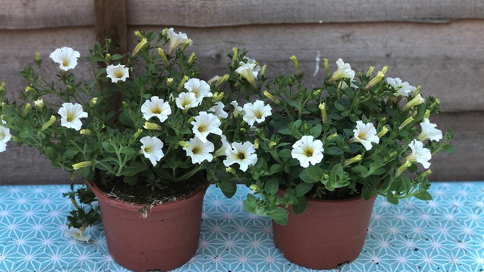 Trailing Petunias (Milliflora) - Mini Flowered - White