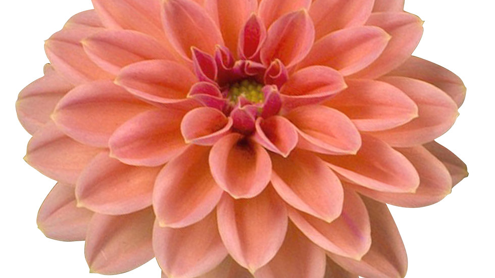 """Dahlietta - """"Surprise Lily"""" - 1L Pot"""