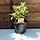Thumbnail: Pieris - Forest Flame - 3L Pot