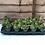 Thumbnail: Sempervivum - Succulents - Rockery