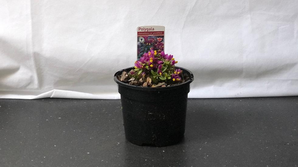 Polygala Chamaebuxus var. Grandiflora
