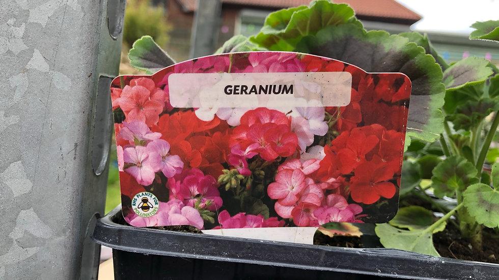 Geraniums - Mixed Colour - 4 Pack
